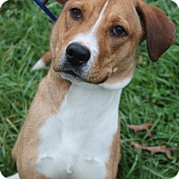 Adopt A Pet :: Koa - Waldorf, MD