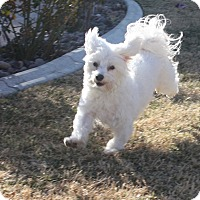 Adopt A Pet :: Bo - Henderson, NV