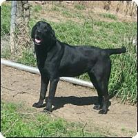 Labrador Retriever Dog for adoption in Shreveport, Louisiana - Lilly