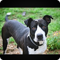 Pit Bull Terrier Mix Dog for adoption in St. Francisville, Louisiana - Scooby