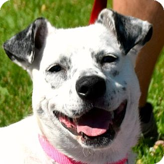 Border Collie/Cattle Dog Mix Dog for adoption in Huntley, Illinois - Roxi