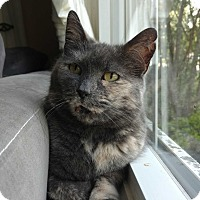 Domestic Shorthair Cat for adoption in Acushnet, Massachusetts - LuLu