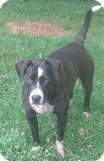Labrador Retriever/American Staffordshire Terrier Mix Dog for adoption in Hillsboro, Ohio - Chubby