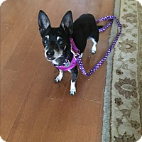 Chihuahua Dog for adoption in Strongsville, Ohio - Trixie