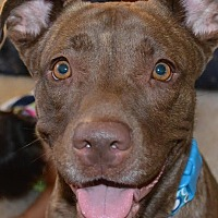 Labrador Retriever/Shar Pei Mix Dog for adoption in Ridgecrest, California - Nala