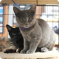 Domestic Shorthair Kitten for adoption in Carlisle, Pennsylvania - Harper