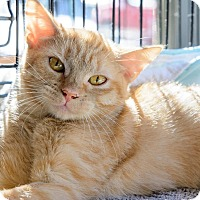 Domestic Shorthair Cat for adoption in New York, New York - Youji