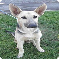 German Shepherd Dog Dog for adoption in Oakdale, California - BREE