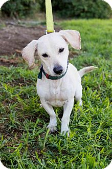 Dachshund/Beagle Mix Dog for adoption in San Diego, California - Gosse