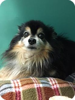 Pomeranian/Chihuahua Mix Dog for adoption in The Dalles, Oregon - Bear