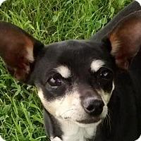 Adopt A Pet :: Annie-Adoption pending - Bridgeton, MO