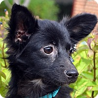 Adopt A Pet :: Phoebe-Adoption pending - Bridgeton, MO