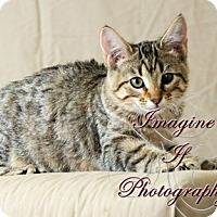 Adopt A Pet :: Sable - Oklahoma City, OK