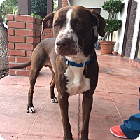 Adopt A Pet :: LIAM - San Juan Capistrano, CA
