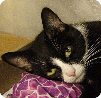 Domestic Shorthair Cat for adoption in El Cajon, California - Katness