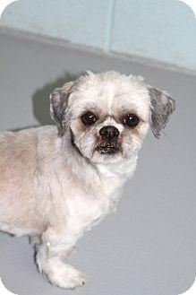 Shih Tzu Mix Dog for adoption in Muskegon, Michigan - Dublin