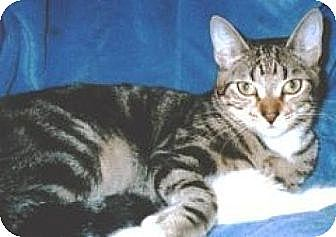 Domestic Shorthair Cat for adoption in Miami, Florida - Tiggerluv