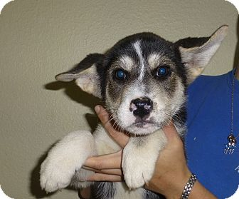 Husky Mix Puppy for adoption in Oviedo, Florida - James