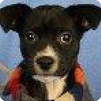 Adopt A Pet :: Miles - Minneapolis, MN