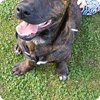 Adopt A Pet :: Cattleman and Staffishire  'Zeus' - Surprise, AZ