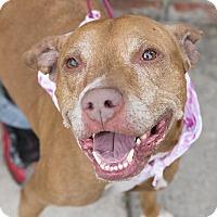 Adopt A Pet :: Angel Face - Brooklyn, NY