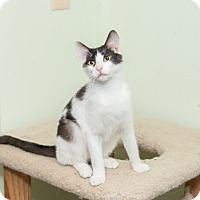 Adopt A Pet :: Raven - Chicago, IL