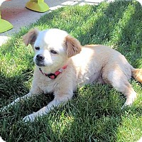Pekingese/Chihuahua Mix Dog for adoption in Fresno, California - Lulu