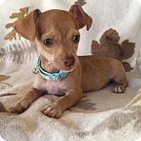 Adopt A Pet :: Curly Sue's Tanner - Fresno, CA