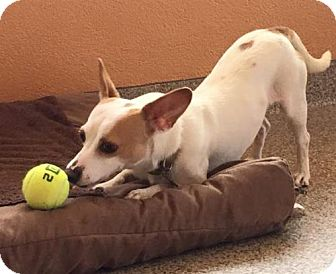 Jack Russell Terrier/Chihuahua Mix Dog for adoption in Kennesaw, Georgia - Indy