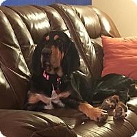 Adopt A Pet :: Misty - Fayetteville, AR