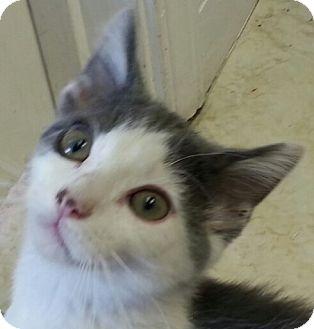 Domestic Shorthair Kitten for adoption in Lexington, Kentucky - Blue