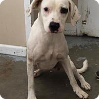 Adopt A Pet :: 5405/ Miley - Calhoun, GA