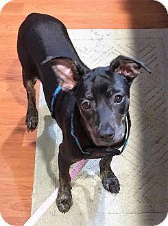 Rat Terrier/Miniature Pinscher Mix Puppy for adoption in Glastonbury, Connecticut - Ruby~meet me!