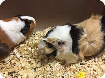 Guinea Pig for adoption in Paramus, New Jersey - The Piggy Girls