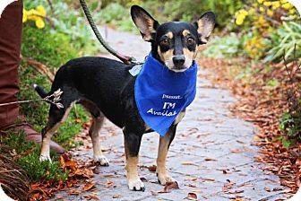 Corgi/Chihuahua Mix Dog for adoption in Fort Atkinson, Wisconsin - Carmichael