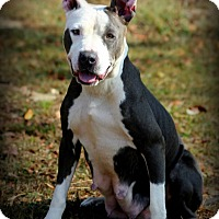 Pit Bull Terrier Dog for adoption in Dixon, Kentucky - Nicky