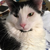 Domestic Mediumhair Cat for adoption in Richmond, Virginia - Chloe