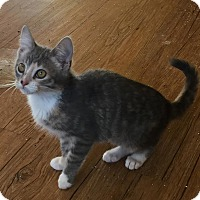 Domestic Shorthair Kitten for adoption in Alamo, California - Emily