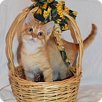 Adopt A Pet :: Figaro - Naperville, IL