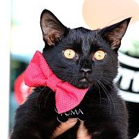 Adopt A Pet :: Puma - South El Monte, CA
