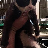 Adopt A Pet :: Sylvester - Loogootee, IN
