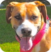 Great Dane/Boxer Mix Dog for adoption in Burbank, California - Katie - VIDEOS