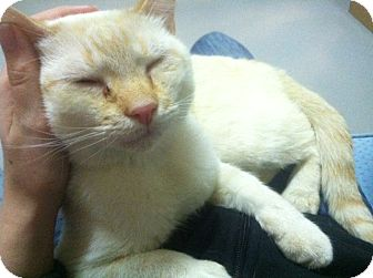 Siamese Cat for adoption in Huntington Station, New York - LENNY