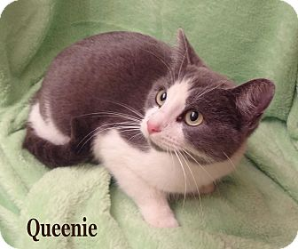 Domestic Shorthair Cat for adoption in Bentonville, Arkansas - Queenie