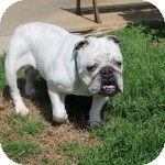 English Bulldog Dog for adoption in Winder, Georgia - Maude