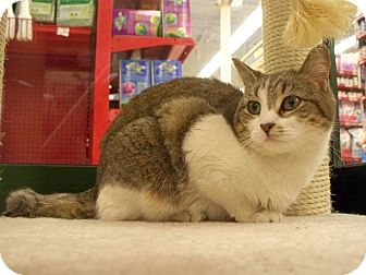 Domestic Shorthair Cat for adoption in Fountain Hills, Arizona - PENELOPE
