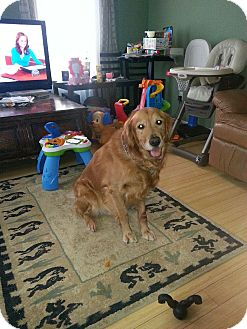 Golden Retriever Dog for adoption in Cheshire, Connecticut - Cooper