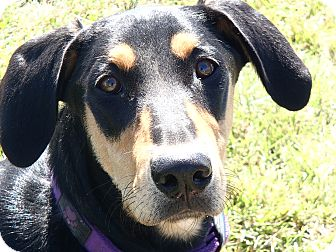 Doberman Pinscher/Golden Retriever Mix Dog for adoption in North Wilkesboro, North Carolina - Noma