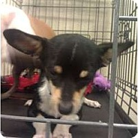 Adopt A Pet :: Waldo - little guy! - Phoenix, AZ