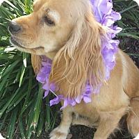 Adopt A Pet :: Chloe Sophia - Sugarland, TX